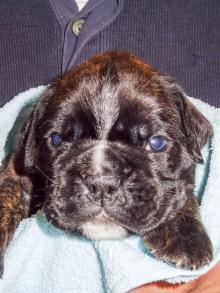 Bentley drei Wochen alt