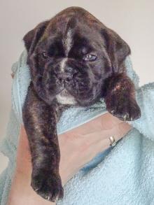 Bentley vier Wochen alt